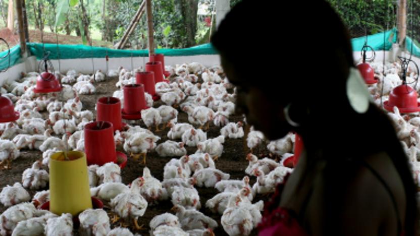 Kansen in de pluimveesector in Colombia en Peru