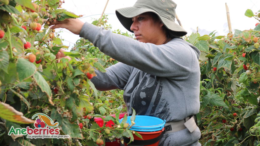 Mexican berries: matching Dutch expertise to a solid berry industry